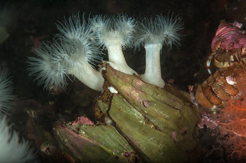 Metridium senile and giant barnacles, Balanus nubilus<br /> Browning Islets, Browning Pass, British Columbia