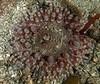 "Stubby rose anemone, Urticina clandestina<br /> <a href=""http://actiniaria.com/urticina_clandestina.php"">http://actiniaria.com/urticina_clandestina.php</a><br /> <br /> God's Pocket Bay, Hurst Island, British Columbia"