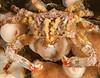 Sharpnose Crab