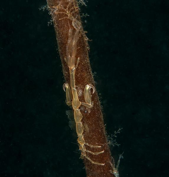 A reeeeally large amphipod