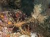 Graceful Decorator Crab - Oregonia gracilis