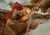 Graceful kelp crab - Pugettia gracilis<br /> Browning Wall, Browning Pass, British Columbia