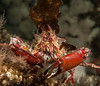 Cryptic kelp crab, Pugettia richii<br /> Seven Tree Island, Browning Pass, British Columbia
