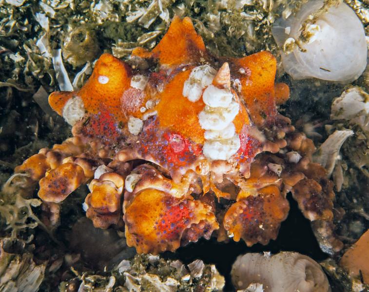Puget Sound king crab, Lopholithodes mandtii<br /> Landslide, Browning Wall, British Columbia
