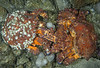 Mating Puget Sound king crabs, Lopholithodes mandtii<br /> Fantasy Island
