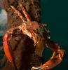 Cryptic Kelp Crab - Pugettia richii