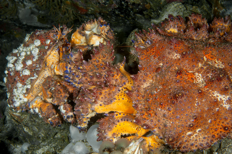 Mating Puget Sound king crab, Lopholithodes mandtii<br /> Fantasy Island