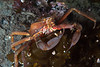Northern kelp crab, Pugettia producta<br /> God's Pocket Bay, Hurst Island, British Columbia