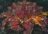 Puget Sound king crab, Lopholithodes mandtii<br /> Hoodie Nudi Bay, Nigei Island, British Columbia