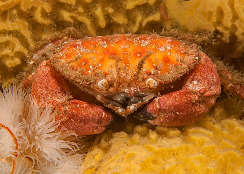 Pygmy rock crab, Cancer oregonensis<br /> Browning Wall, Browning Pass, British Columbia