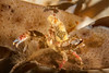 Graceful Kelp Crab - Pugettia gracilis