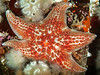 Leather Star - Asteriopsis imbricata
