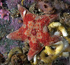 Leather sea star, Dermasterias imbricata<br /> Lucan's Chute, Browning Pass