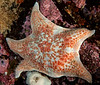 Leather sea star, Dermasterias imbricata<br /> Seven Tree Island, Browning Pass, British Columbia