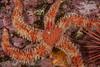 Rainbow star, Orthasterias koehleri