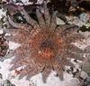 Sunflower star, Pycnopodia helianthoides<br /> Hussar Point, Nigei Island, British Columbia