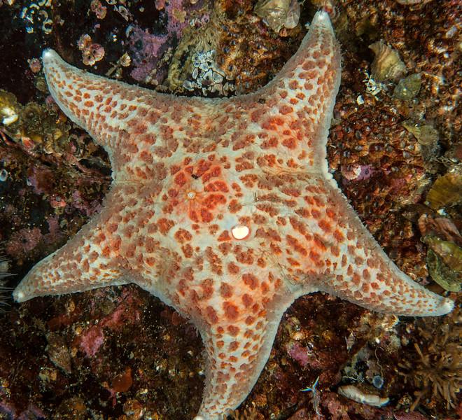 Leather sea star, Dermasterias imbricata<br /> Seven Tree Island, Browning Pass, British Columbia