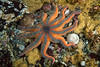 Striped sun star, Solaster stimpsoni<br /> Browning Wall, Browning Pass, British Columbia