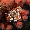 Basket Star - Gorgonocephalus eucnemis