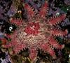 Rose star, Crossaster papposus<br /> Hoodie Nudi Bay, Nigei Island, British Columbia