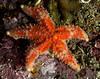 Juvenile rainbow star, Orthasterias koehleri<br /> Lucan's Chute, Browning Pass, British Columbia