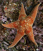 Leather sea star, Dermasterias imbricata<br /> Hoodie Nudi Bay, Nigei Island, British Columbia