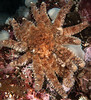 Sunflower star, Pycnopodia helianthoides<br /> Snowfall, Browning Pass, British Columbia