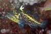 China rockfish, Sebastes nebulosus<br /> Fantasy Island, British Columbia