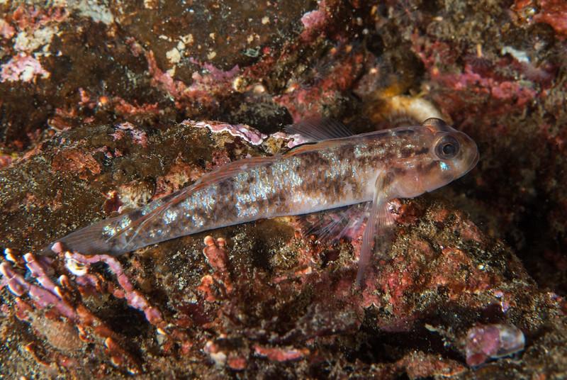 Bay gobi, Lepidogobius lepidus<br /> God's Pocket Bay, Hurst Island, British Columbia