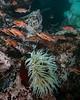 Puget Sound rockfish, Sebastes emphaeus<br /> R & B, Browning Pass, B.C.