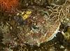 Red Irish Lord, Hemilepidotus hemilepidotus<br /> Northwest Passage Wall, Browning Pass, British Columbia