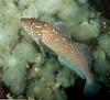 Kelp greenling male, Hexagrammos decagrammus<br /> Browning Wall, Browning Pass, British Columbia