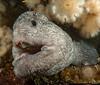 Wolf-eel, Anarrhichthys ocellatus<br /> Fantasy Island, British Columbia