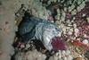 Wolf-eel, Anarrhichthys ocellatus<br /> Fantasy Island