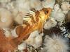 Juvenile quillback rockfish, Sebastes maliger<br /> Browning Wall, Browning Pass, British Columbia