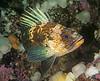 Quillback rockfish, Sebastes maliger<br /> Fantasy Island, British Columbia