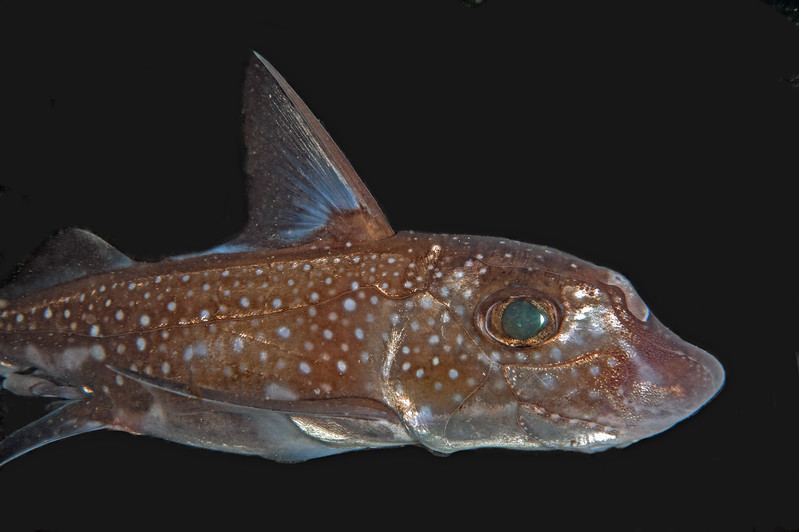 Spotted ratfish, Hydrolagus colliei<br /> Cartilagenous fish, closely related to sharks and rays.<br /> <br /> God's Pocket Bay, Hurst Island, British Columbia