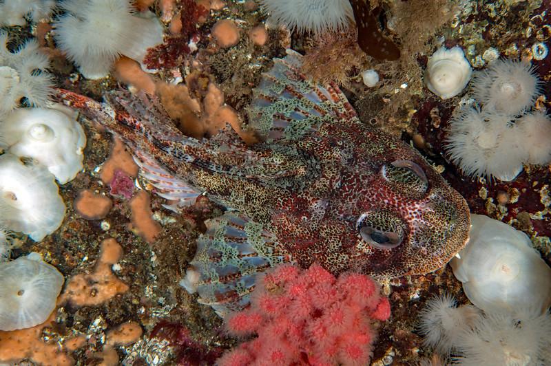 Red Irish lord, Hemilepidotus hemilepidotus<br /> Seven Tree Island, Browning Pass, British Columbia