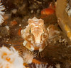 Grunt sculpin, Rhamphocottus richardsonii<br /> Browning Wall, Browning Pass, British Columbia