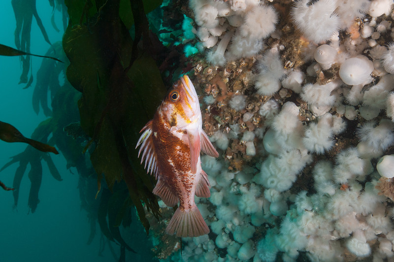 Copper rockfish, Sebastes caurinus<br /> Ruth's Rocks, Browning Pass, B.C.