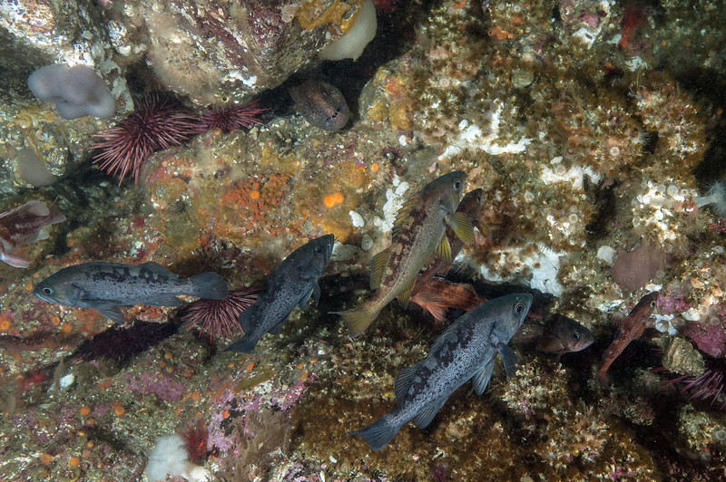 Top: small wolf eel, Anarrhichthys ocellatus<br /> Black rockfish olive rockfish and perhaps Puget Sound rockfish<br /> <br /> Toy Boy, Walker Group, British Columbia