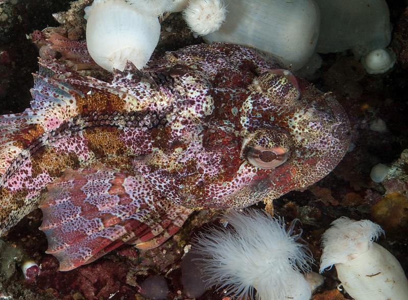 Red Irish lord, Hemilepidotus hemilepidotus<br /> Hussar Point West, Nigei Island, British Columbia