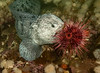 Wolf-eel<br /> Anarrhichthys ocellatus