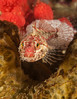 Scalyhead sculpin, Artedius harringtoni<br /> Seven Tree Island, Browning Pass, British Columbia