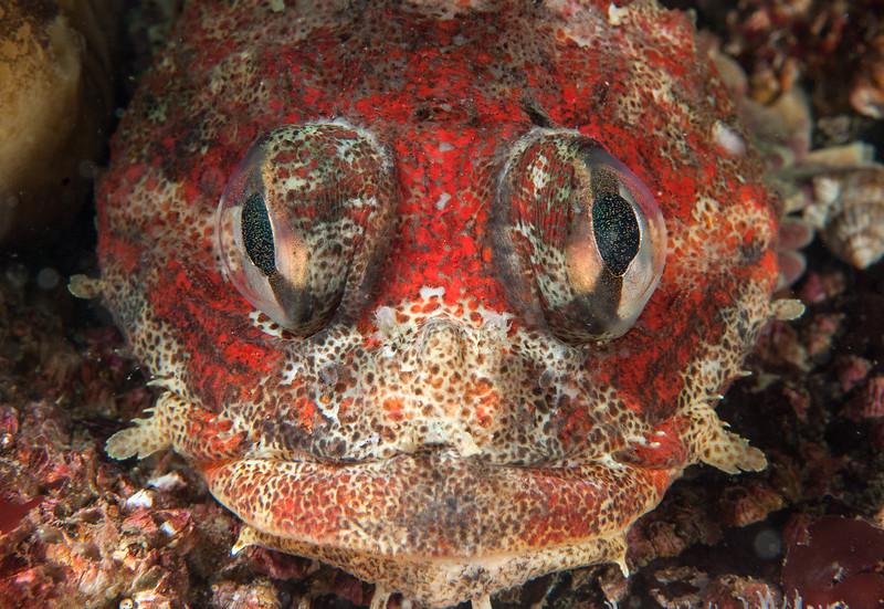 Red Irish lord, Hemilepidotus hemilepidotus<br /> Browning Wall, Browning Pass, British Columbia