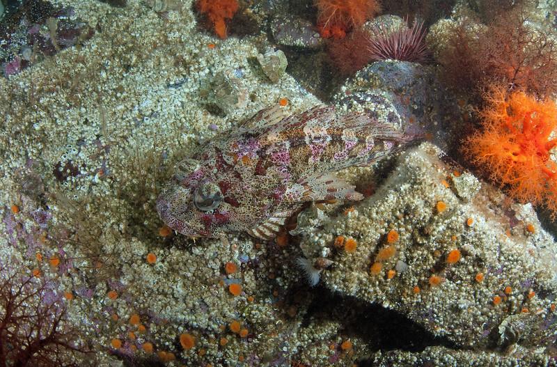 Red Irish Lord, Hemilepidotus hemilepidotus<br /> Hussar Point, Nigei Island, British Columbia