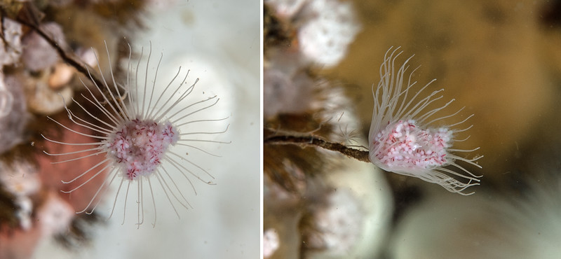 Pink-mouth hydroid, Tubularia sp.<br /> ID thanks to Greg Jensen<br /> <br /> Seven Tree, Browning Pass, British Columbia