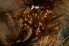 Orange hydroid, Garveia annulata and Plumularia sp.<br /> Buttertart, Browning Pass, British Columbia