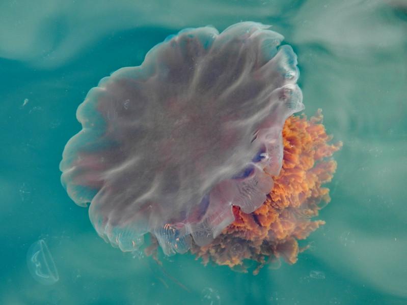 Lion's mane jelly, Cyanea capillata