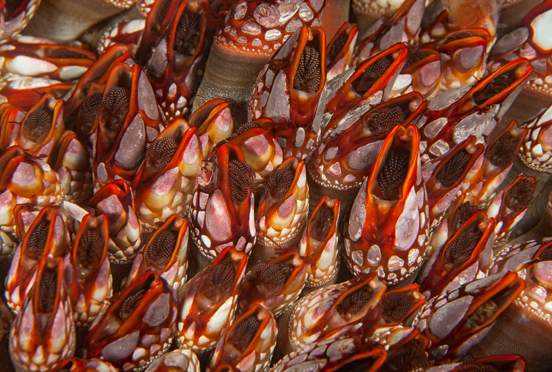 Pacific gooseneck barnacle, Pollicipes polymerus